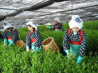Cosecha de té verde